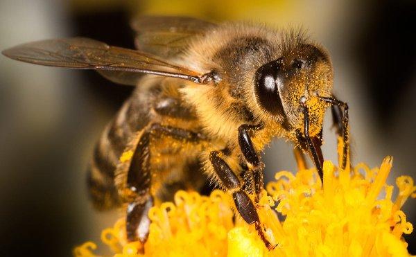 Ученые рассказали, может ли пчела ужалить другую пчелу