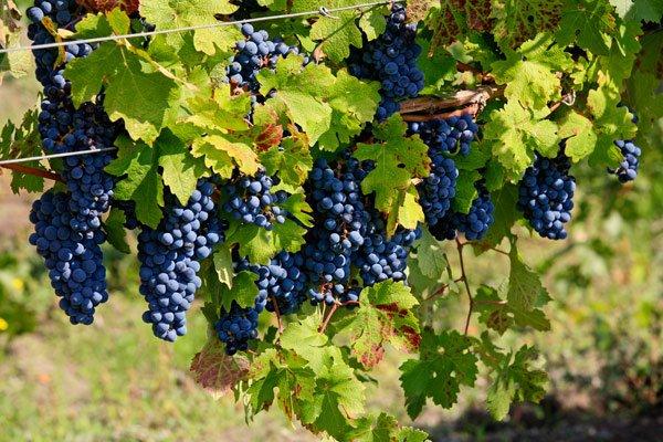 Виноградный бизнес Снежаны Гергиевой и Артёма Зуева принёс вкусные плоды