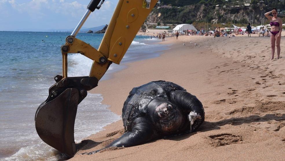 На берег вИспании выбросило огромную черепаху весом 700кг