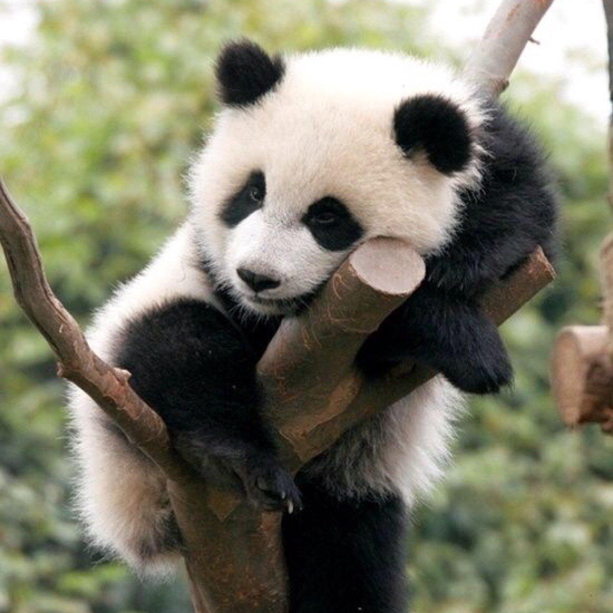 Почему панда находится под угрозой вымирания