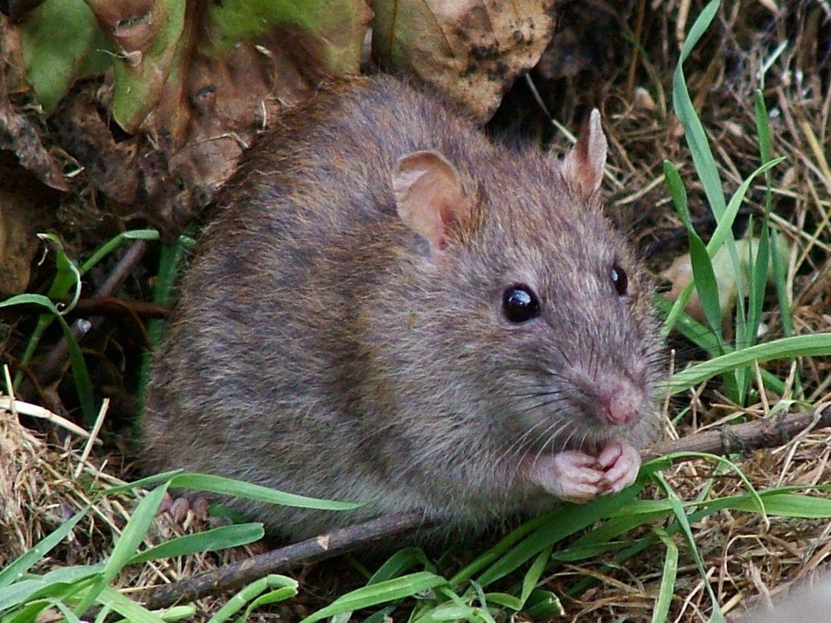 ВТихом океане обнаружили огромную древесную крысу
