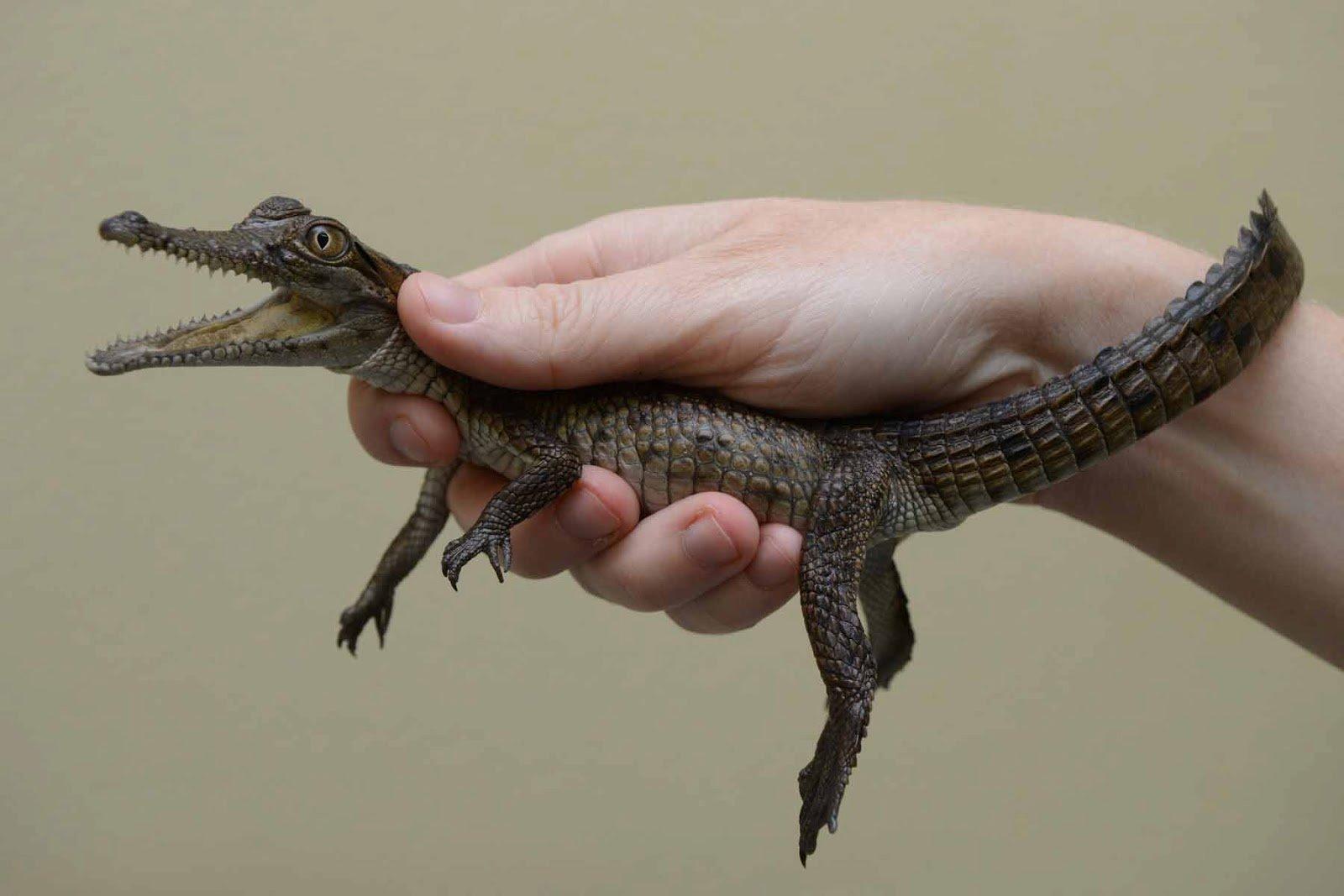 78 крокодилов убежали изкитайского зоопарка