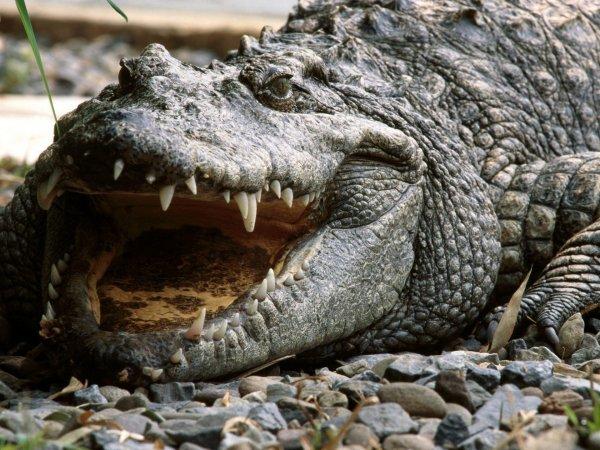 На Шри-Ланке крокодил загрыз журналиста Financial Times