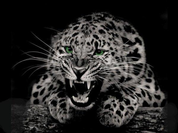 В объектив автоматической камеры попал редкий вид белого ягуара