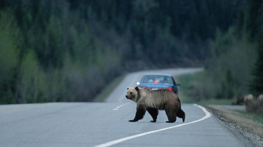 Поулицам Петропавловска-Камчатского бродит медведь