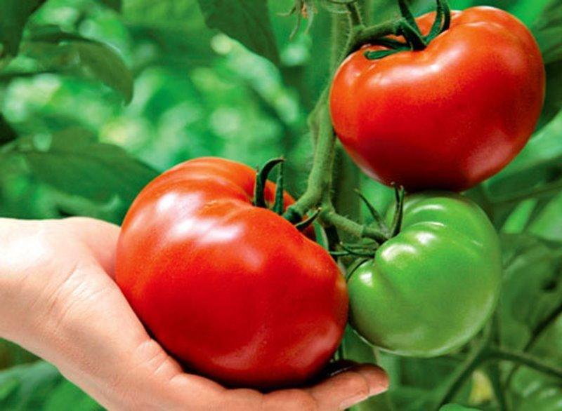 Россельхознадзор подозревает Беларусь вреэкспорте томатов изТурции