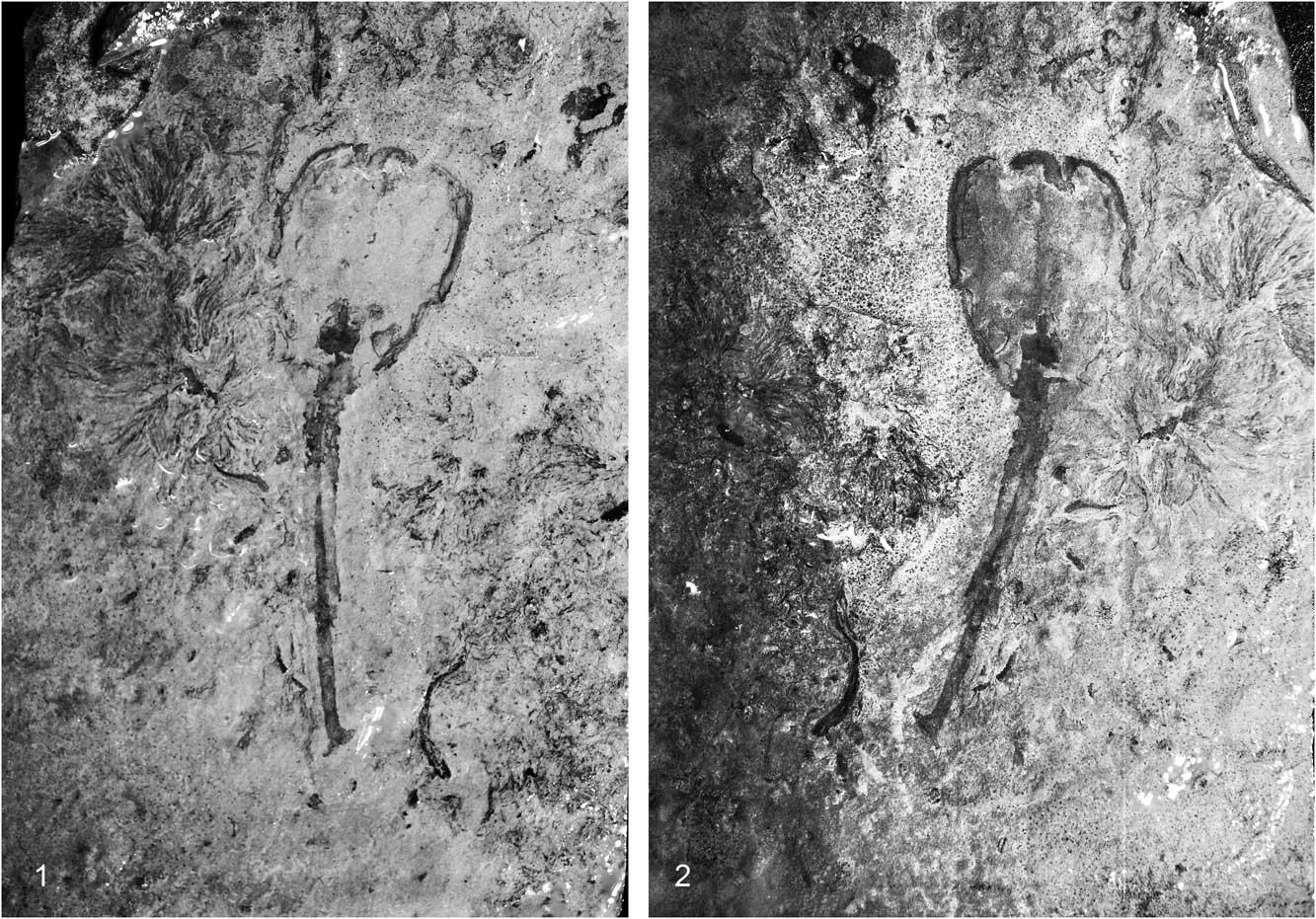 Ученые отыскали  одного изпервых многоклеточных существ Земли