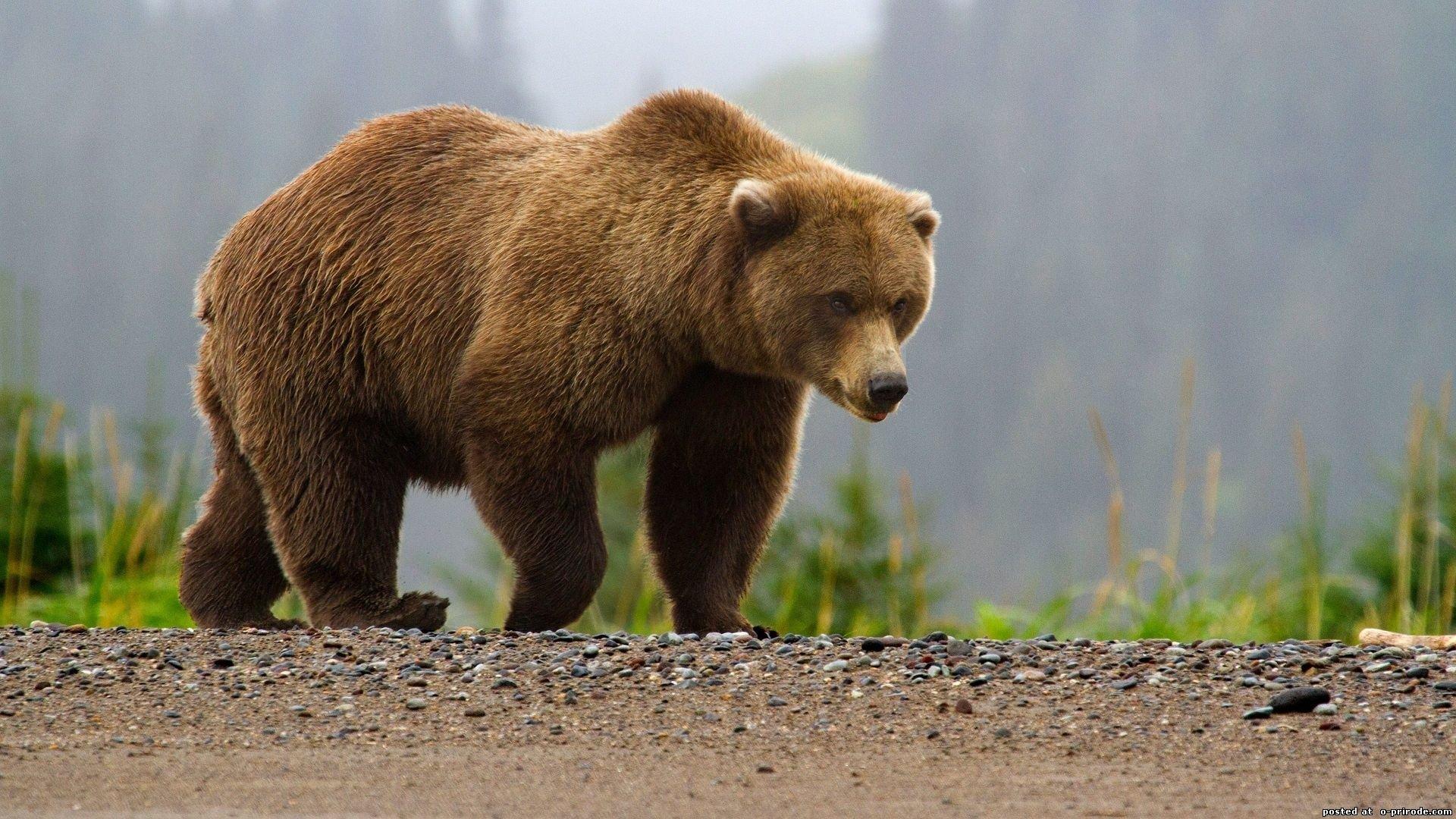 Медведь застрял вокне вагона вНижневартовске