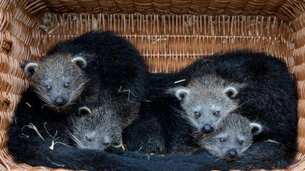 В зоопарке Берлина родилось рекордное количество «кошачьих медведей»