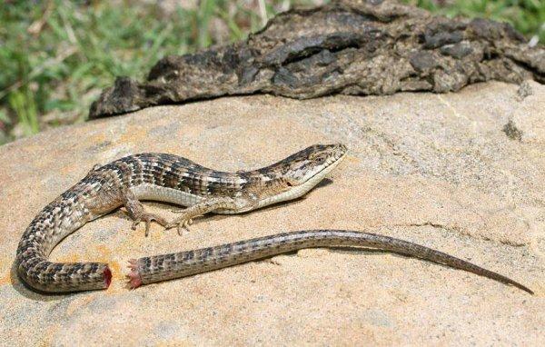 Из-за ящериц ученые сомневаются в разнообразии форм жизни на Земле