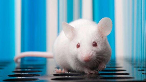 Ученым удалось успешно пересадить грызунам искусственный человеческий кишечник