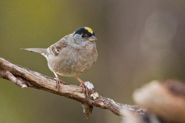 Птенцы зонотрихий угадывают мелодию своих сородичей с одной ноты
