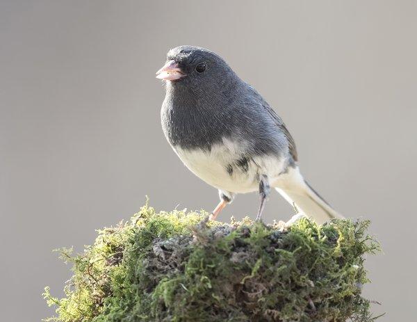 Ученые рассказали, почему самки певчих птиц подражают самцам