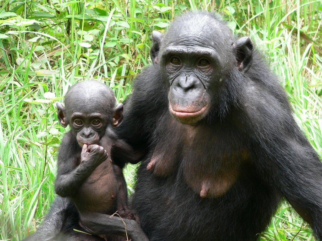 https://www.vladtime.ru/uploads/posts/2017-11/1510160104_bonobos.jpg