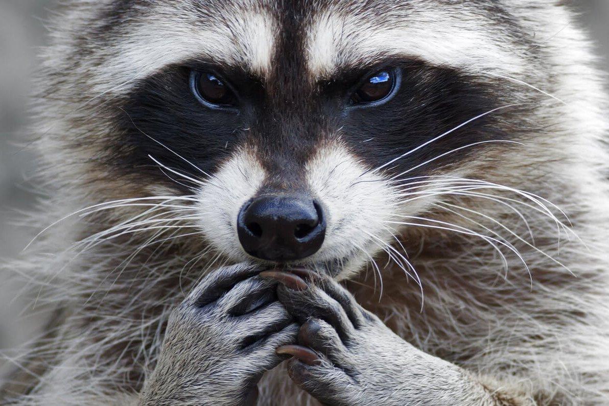 Вресторане «Русская рыбалка» нелегально демонстрировали пятнистого оленя иенота-полоскуна