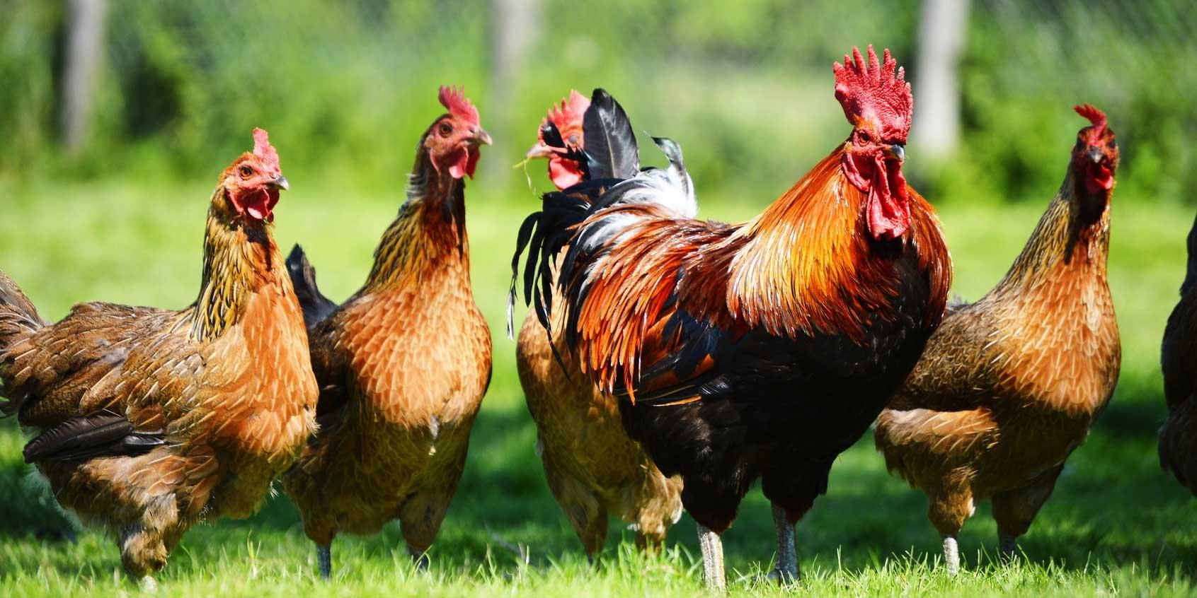 Птичий грипп зафиксирован в Ростовской области