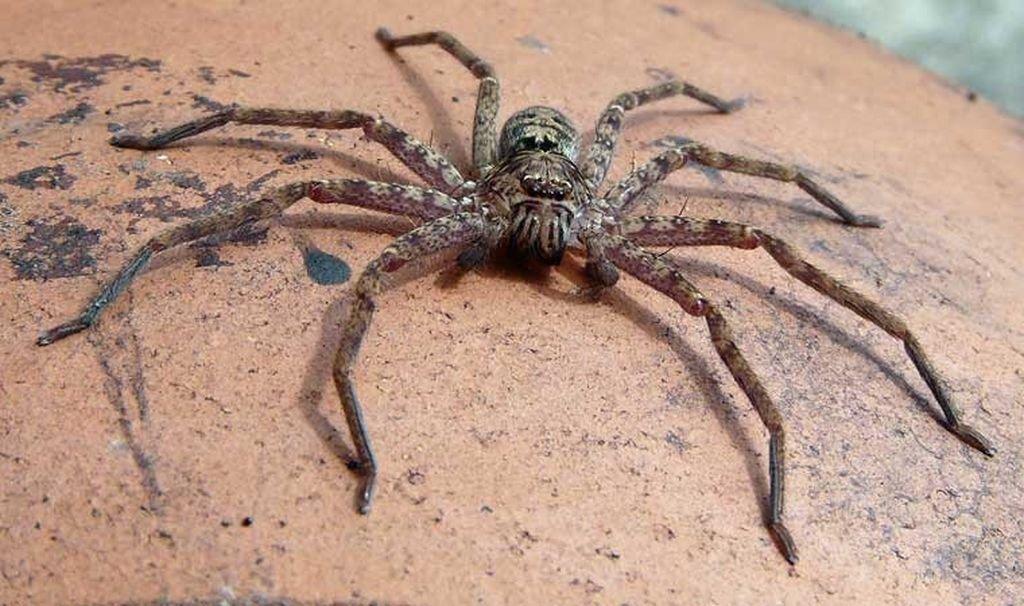 Жительница Австралии превратилась в заложницу мохнатого паука в своей машине