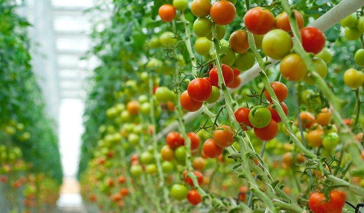 Ставропольский край планирует стать лидером в РФ по урожаю тепличных овощей