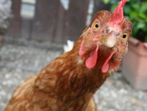 В Пакистане арестовали подростка за изнасилование курицы