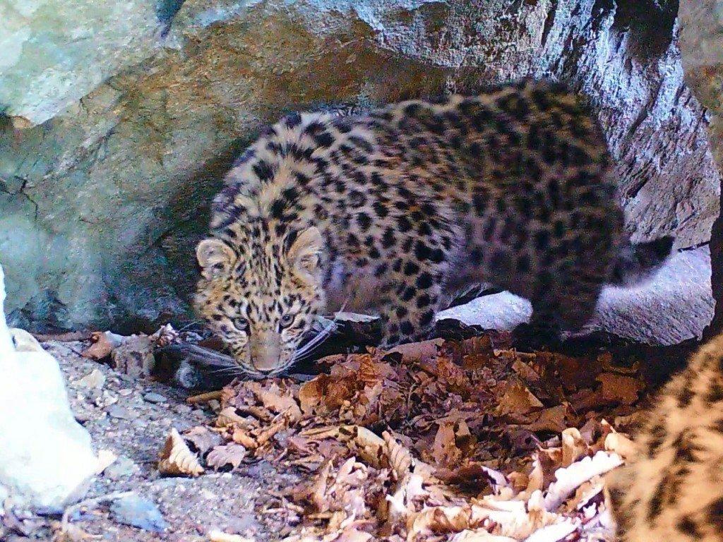Амурский тигр илеопардесса попали навидео водном гроте