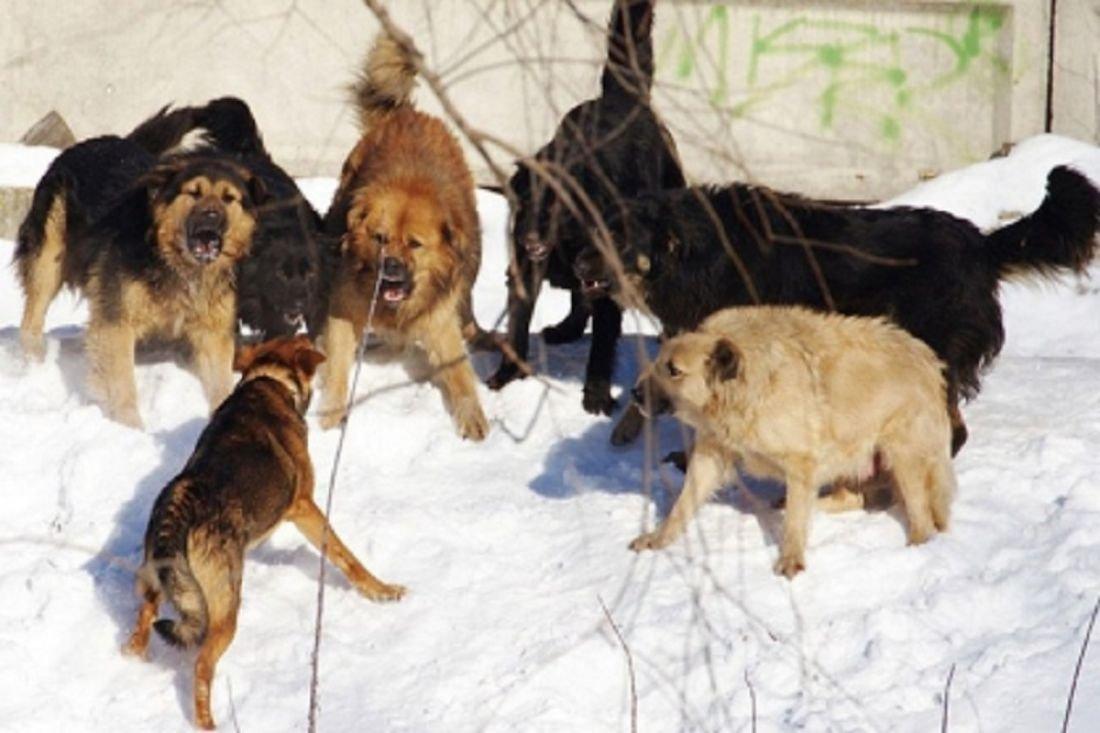 ВЯкутии стая собак напала надевочку