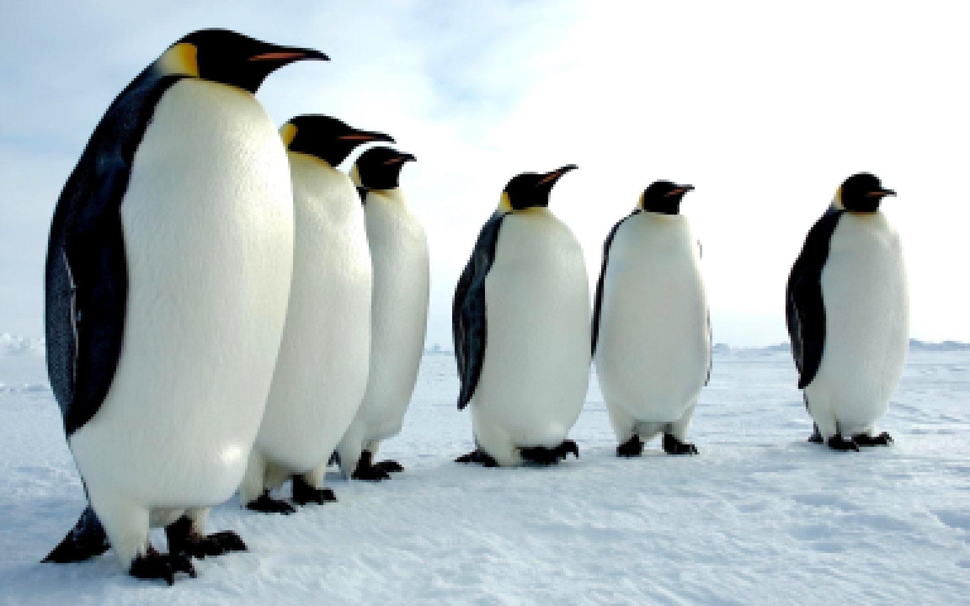 Ученые отыскали останки гигантского доисторического пингвина в новейшей Зеландии