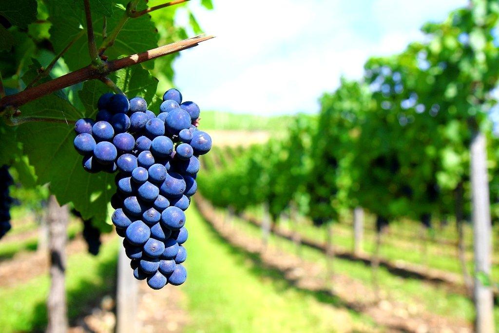 Медведев поручил Минсельхозу разобраться сквотами на русские вина
