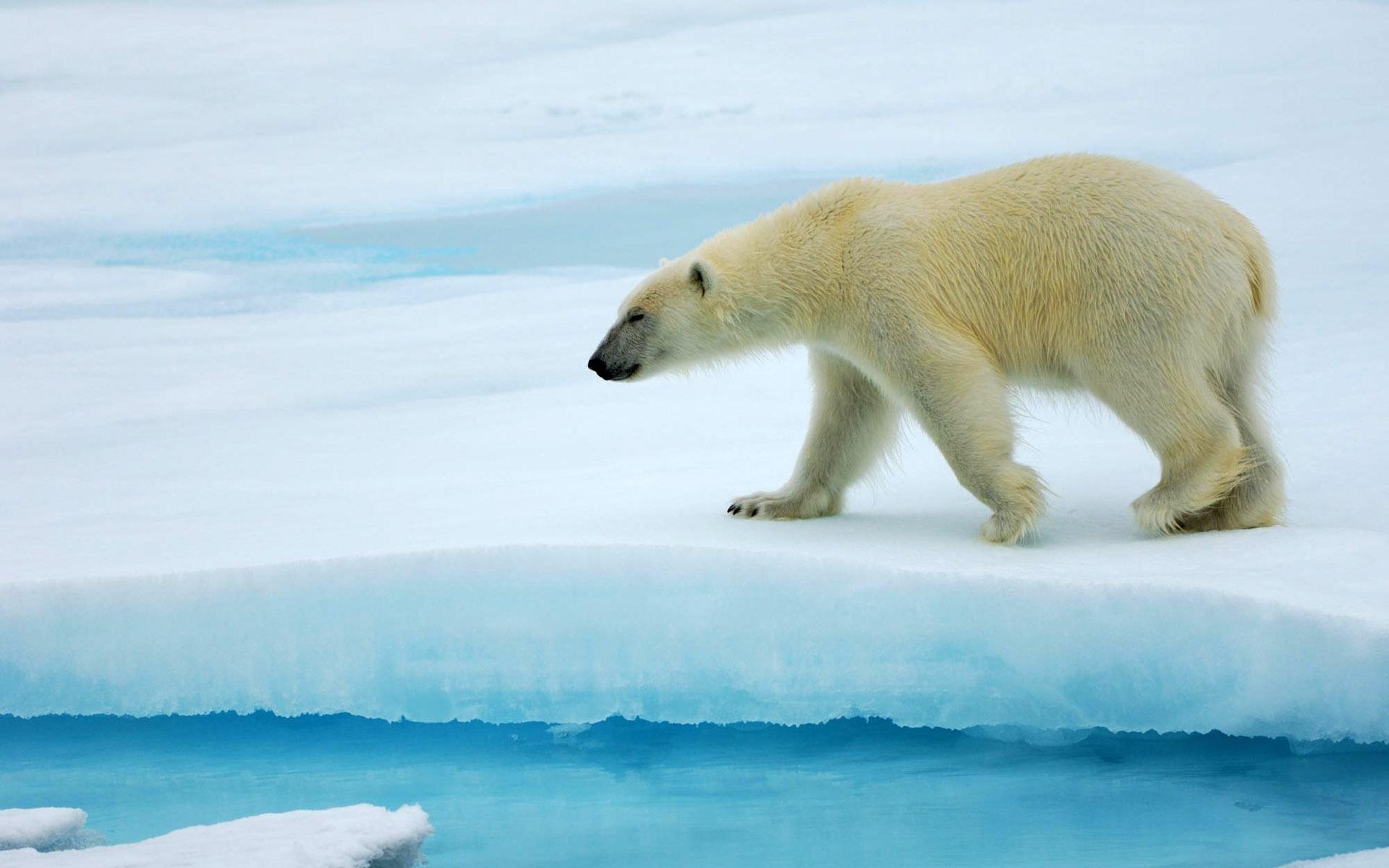 Работники аэропорта наАляске жалуются на«нашествие» белых медведей