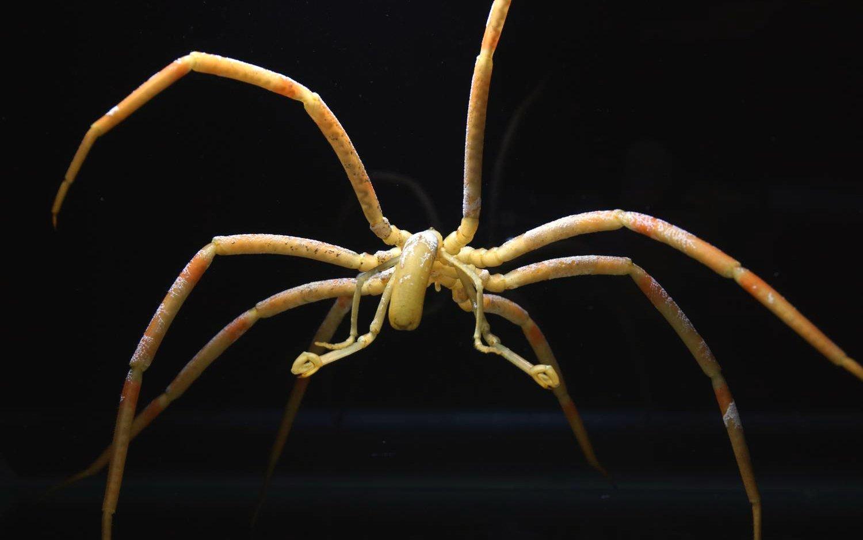 Австралийских морских пауков назвали вчесть Боба Марли