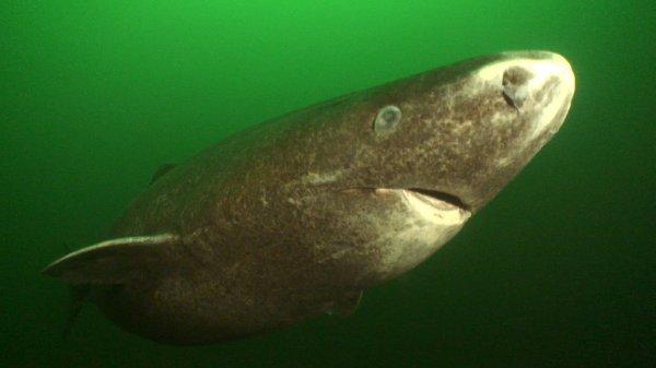 Учёные обнаружили акулу возрастом более 500 лет