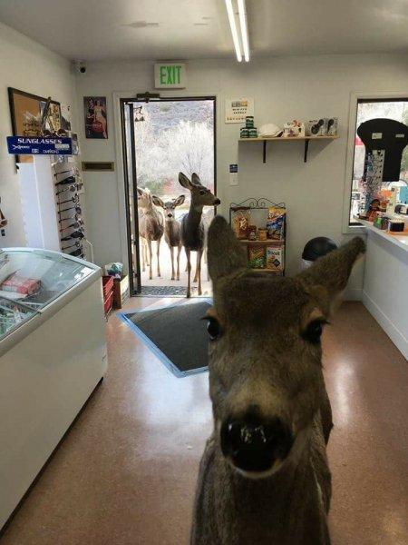 В США олениха привела в магазин все семейство за угощением