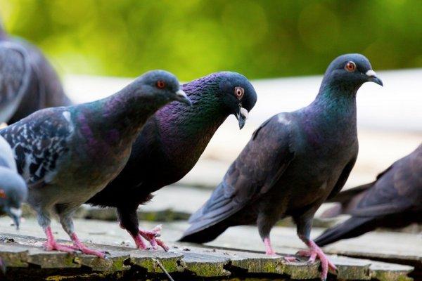 Британка получила штраф за кормление голубей