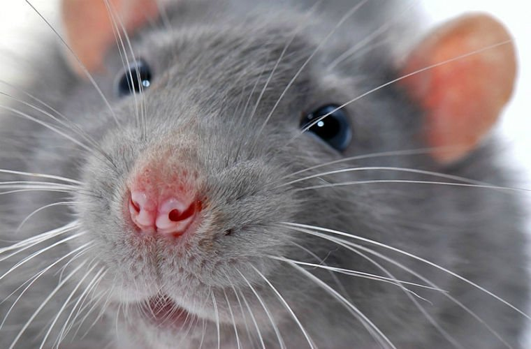 Вылет авиалайнера американской компании Alaska Airlines отменили из-за проникшей наборт крысы