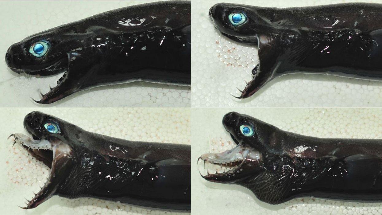 НаТайване выловили морских монстров, сходных напришельцев