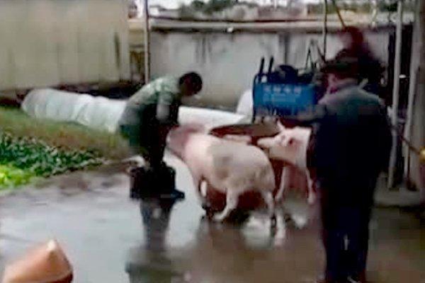 В КНР свинья отбила собрата умясников