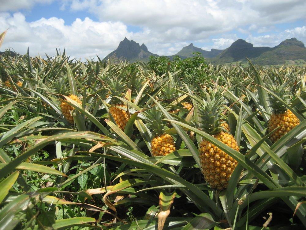 Тонну кокаиновых ананасов изъяли вИспании