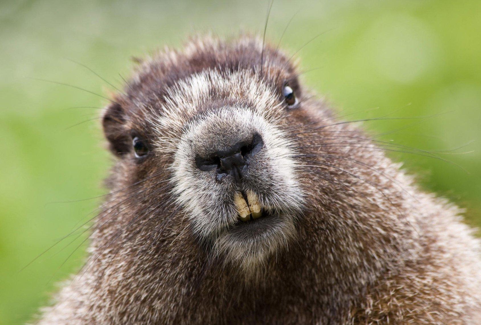 Сурков изЛенинградского зоопарка нестанут будить кДню сурка