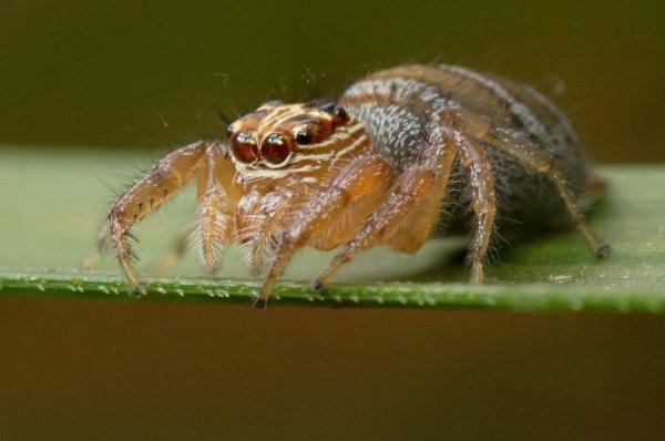 Арахнологи сообщили о 18 новых видах пауков-каннибалов