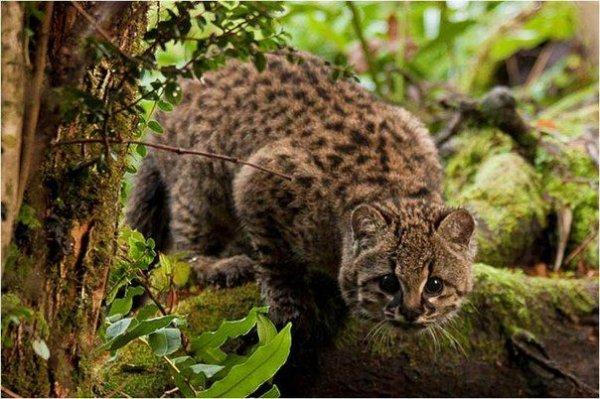 Ученые: Чилийские кошки перестали вымирать
