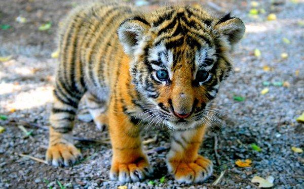 Странная посылка: Мексиканец отправил тигренка по почте