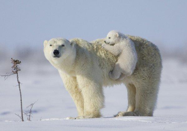 Истощенная белая медведица с медвежонком убежала от сонного моржа
