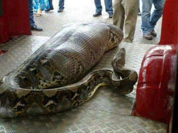 Змея проглотила многомиллионную выручку нигерийских чиновников