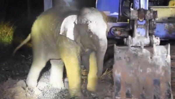 В Таиланде жители спасли слоненка, который провалился в колодец