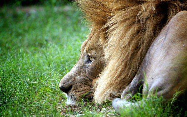 В китайском зоопарке истощенный лев отгрыз свой хвост