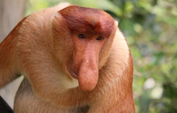 Размер имеет значение: Ученые выяснили, что большой нос привлекает самок обезьян