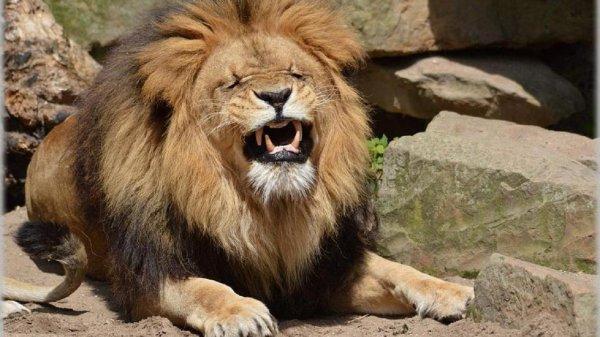 В ЮАР лев жестоко расправился с 22-летней девушкой
