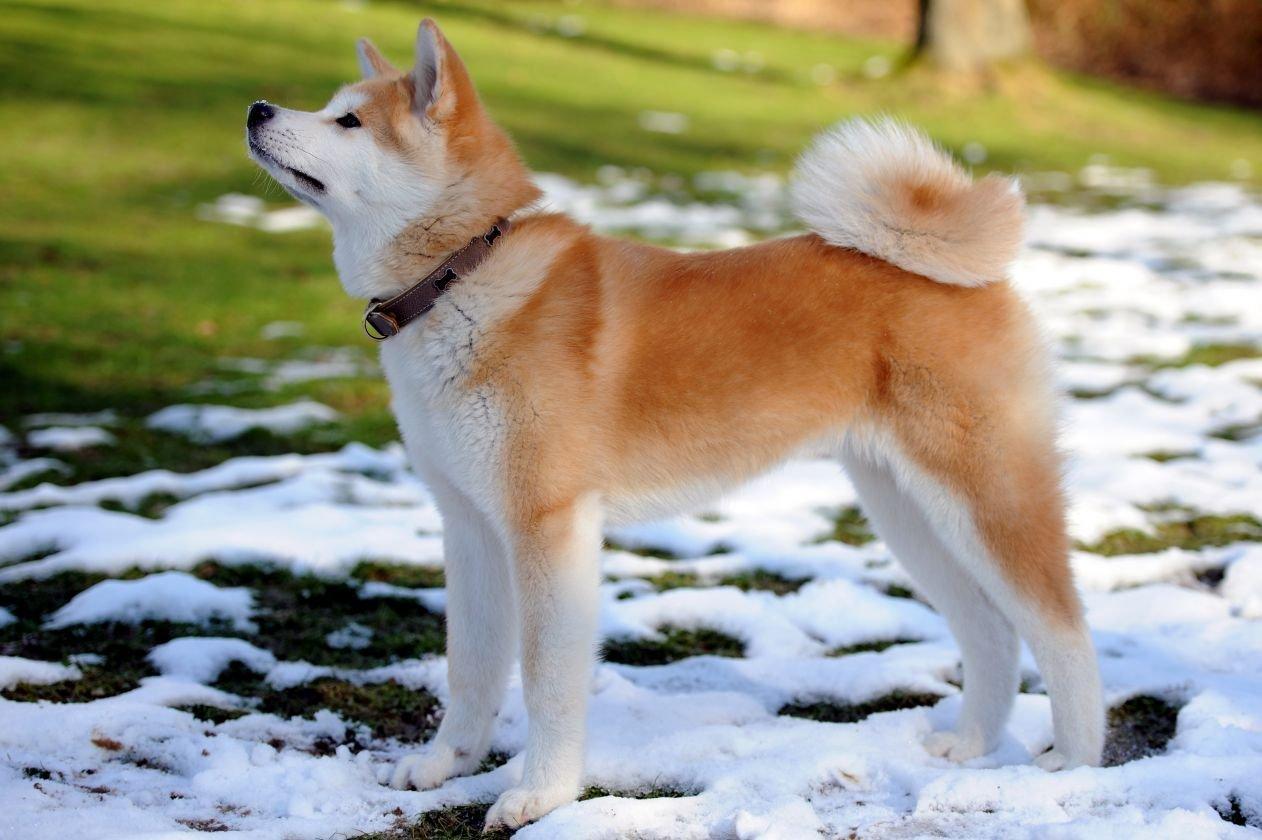 Алина Загитова получит в подарок редкого пса из Японии