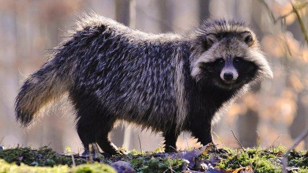 Драка енотовидных собак за нору попала на видео в Полистовском заповеднике