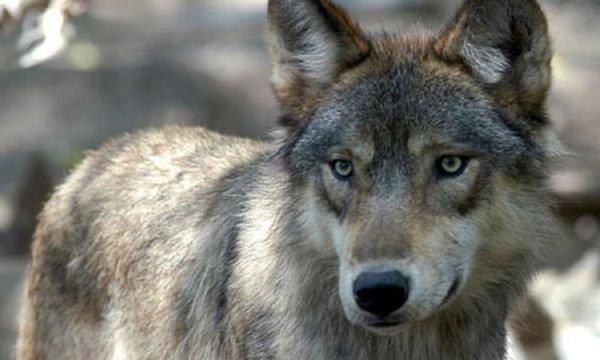 Житель столицы заманил в западню и поймал волчицу с ошейником в «новой Москве»