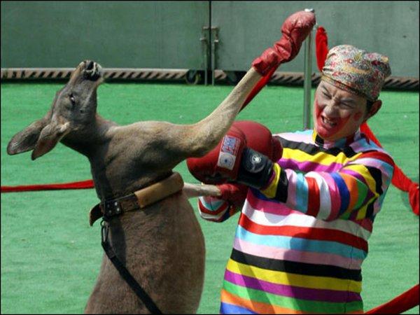 В Ростове кенгуру нокаутировал артистов цирка